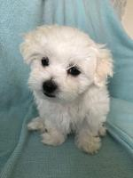 IKC Reg Maltese Puppy SOLD for sale.