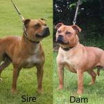 Staffordshire Bull Terrier for sale.