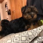 FULL BREED YORKSHIRE TERRIER PUP FEMALE pup 3months old for sale.