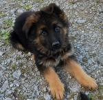 German Shepherd GSD quality long coat puppies [sold].