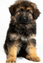 German Shepherd puppies LC IKC reg black and gold/red [sold].