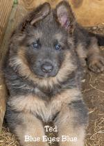 Long Haired German Shepherds for sale.