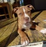 Rednose Pitbull [sold].