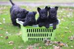 Pedigree Scottish Terriers for sale.
