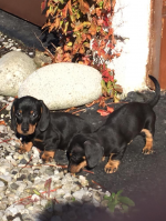 Miniature Dachshund Puppies [sold].