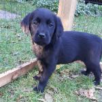 Golden Retriever/Black Labrador Pups [sold].