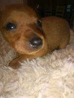 Miniature Pinscher for sale.