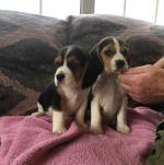 Beagle [sold].