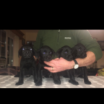 Labrador pups [sold].