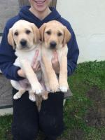 Labrador Retrievers in Mayo for sale.