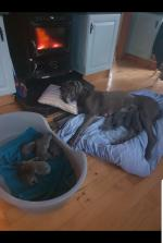 Blue great dane puppies for sale.