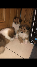 Rough collie puppies for sale for sale.