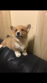 Pembroke Welsh Corgi [sold].