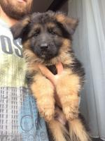German Shepherd Pups Long Hair IKC for sale.