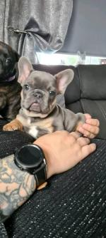 Staffies (2) and French bulldog (1) for sale.