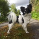 IKC Papillon Dog for sale.
