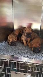 Purebred Bullmastiff pups for sale for sale.