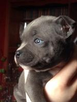 Blue Staffordshire Bull Terrier for sale for sale.