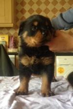 Rottweiler pups [sold].