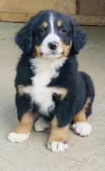 IKC Berneese Mountain Dog pups for sale.