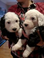 Olde english sheepdog mix golden Mountain dog [sold].