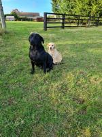IKC Labrador pups in Kilkenny for sale.