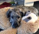 Irish Wolfhound [sold].