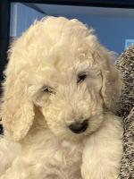 Standard Poodle [sold].