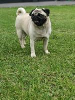 Pug Female IKC Reg [sold].