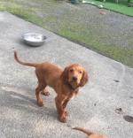 Irish Red Setter Pup [sold].