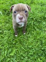 Pure Breed Pitbull Terriers for sale.