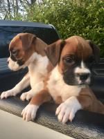 6 pedigree boxer pups [sold].