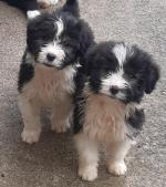Beautiful bearded collie puppies like teddy bears for sale.