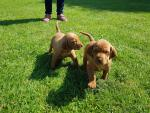Purebred Hungarian Vizsla Puppies for sale.
