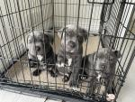 Blue Staffordshire terrier pups in Cork for sale.