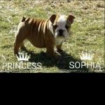 British Bulldog Puppies for sale.