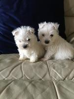IKC West Highland Terrier for sale.