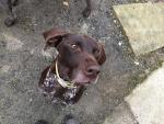 German Shorthair Pointer for sale.