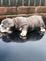 English bulldog puppies for sale for sale.