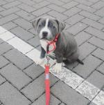 Staffordshire Bull Terrier / Staff / Staffy for sale.