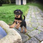 Airedale Terrier puppies [sold].