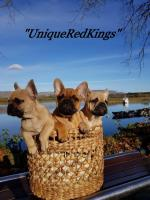 UniqueRedKings French Bulldogs [sold].