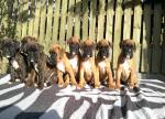 2 month old Pedigree boxer puppies [sold].