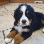 Bernese mountain puppies [sold].