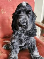 Beautiful Cocker spaniel puppies for sale.