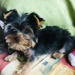 Yorkshire terrier [sold].