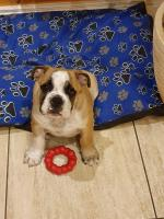 Bulldog puppies male for sale.