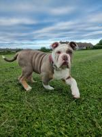 Olde English Bulldogge Daughter of RALPHY BOY for sale.