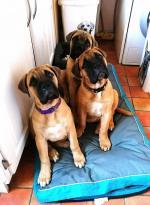 Bullmastiff puppies for sale.