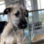 Irish wolfhound pups [sold].